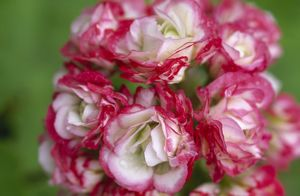 Pelargonium 'Apple Blossom Rosebud' M070286