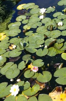Water Lillies M010236