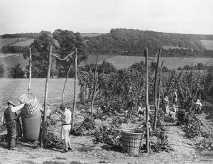 Hop picking in Kent