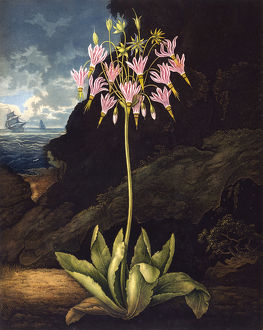 The American Cowslip (Dodecatheon)