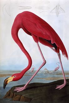 American Flamingo, by John James Audubon