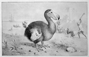 ANIMALS/EXTINCT/DODO