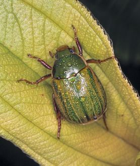 Anomala sp., chafer beetle