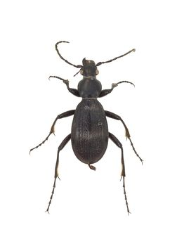 Aplothorax burchelli, giant ground beetle