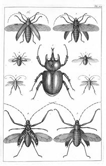 Beetles illustration