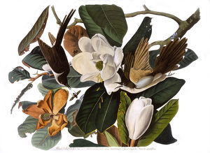 Black-Billed Cuckoo, by John James Audubon