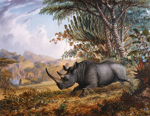 The Black Rhinoceros Charging, by Thomas Baines