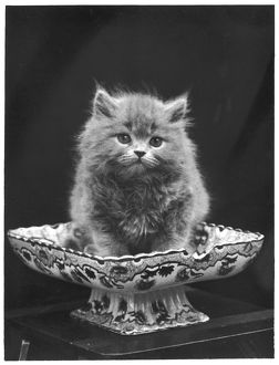 BLUE PERSIAN KITTEN/1936