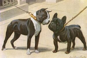Boston Terrier and French Bulldog