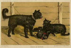 Brie Shepherd Dogs at 1865 Paris dog show