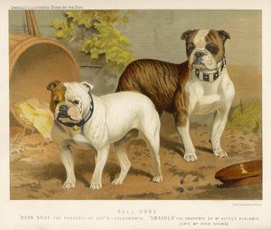TWO BULL DOGS C1890