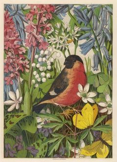 BULLFINCH (ANON)
