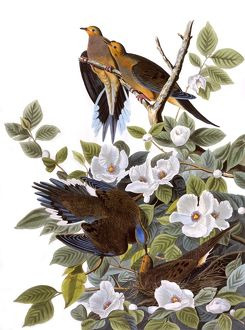 Carolina Turtle Dove, by John James Audubon