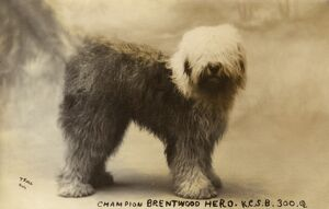 Champion Brentwood Hero - Old English Sheepdog