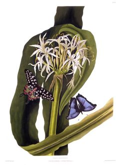 Crinum Pedunculatum (Swamp Lily), with butterflies