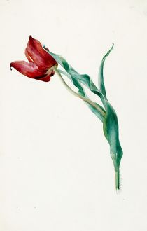 Design for Sketches -- a single tulip