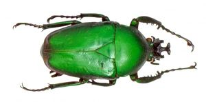 Dicronorhina sp., rose chafer beetle