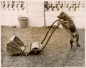DOG MOWING THE LAWN