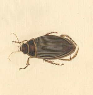 Dytiscus marginalis, great diving beetle (female)