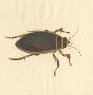 Dytiscus marginalis, great diving beetle (male)