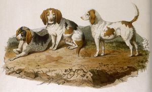 EARLY TYPE BEAGLE DOGS