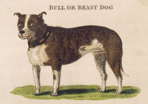 EARLY TYPE BULL DOGS