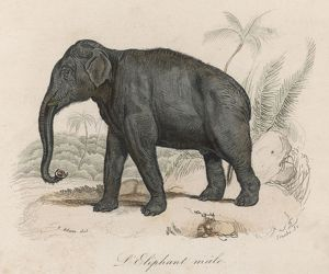 ELEPHANT/INDIAN MALE 19C