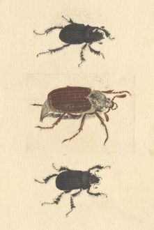 English Insects illustration of Minotaur beetles and Cockcha