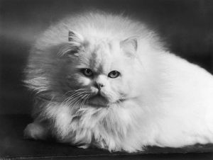 FACE OF WHITE PERSIAN
