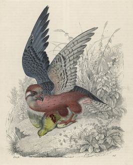 FALCON AND PREY