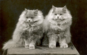 FALL/BLUE PERSIAN CATS
