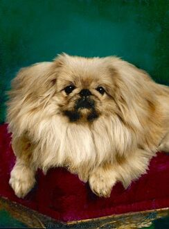 FALL/PEKINGESE/TUL-CHING