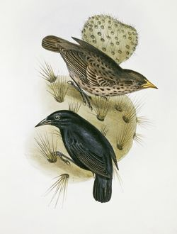 Geospiza scandens, common cactus finch