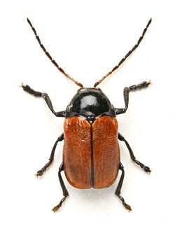 Hazel Pot Beetle
