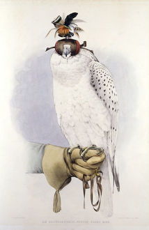 Illustration of a white hawk, by Mattias Wolf