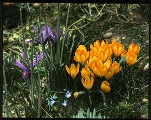 Iris Reticulata and Crocus Chrysanthus