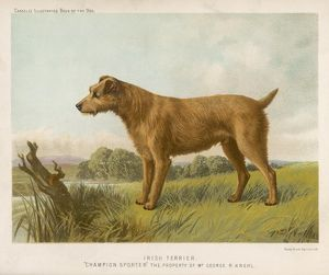 IRISH TERRIER (SHAW)