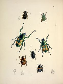 Jumnos ruckeri Saunders (Lamellicornia) (large beetles in ce