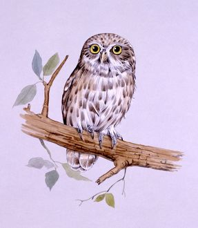 Little Owl perched on a branch