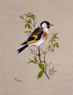 A male Goldfinch
