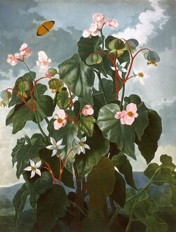 The oblique-leaved Begonia