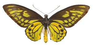 Ornithoptera croesus, Wallace's golden birdwing butterfly