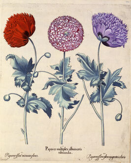 Papaver (Poppy), three varieties