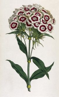 PLANTS/DIANTHUS BARBATUS