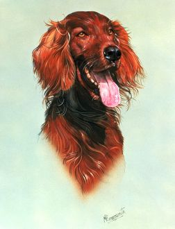 animals/dogs/portrait red setter