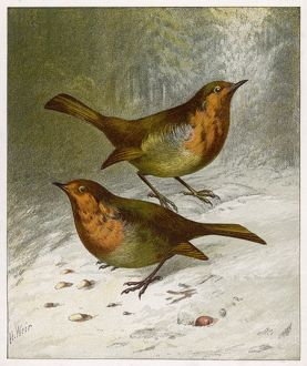 TWO ROBINS IN WINTER 19C