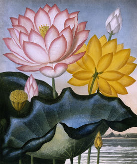 The Sacred Egyptian Bean (Lotus)
