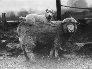 SEALYHAM RIDING A SHEEP