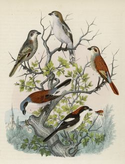 Five shrikes perched on a bush