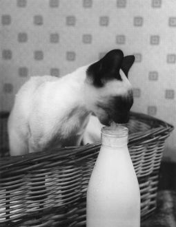 SIAMESE CAT GETS CREAM